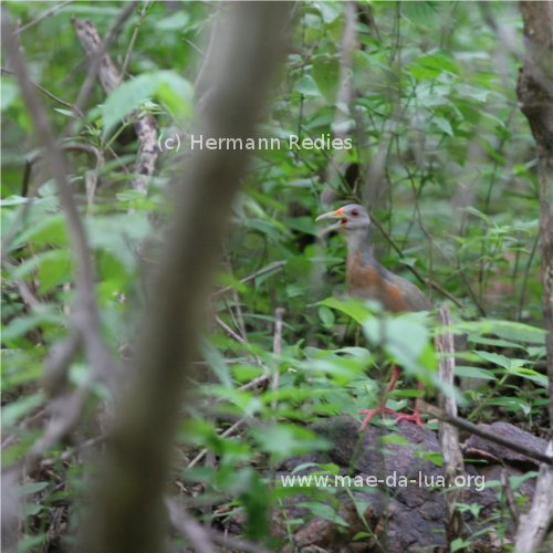 Poor photo of singing Little Wood Rail