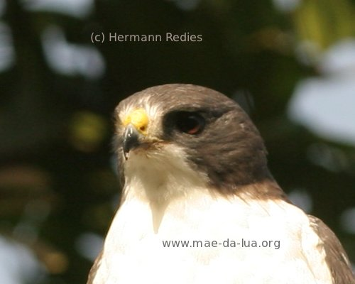 Short-tailed Hawk (Buteo brachyurus)