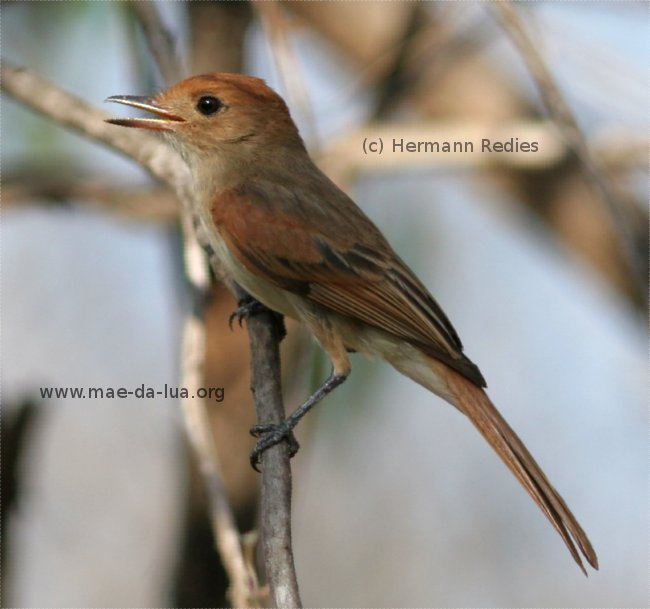 Ash-throated Casiornis (Casiornis fuscus)