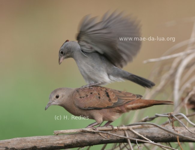Ruddy Ground-Dove (Columbina talpacoti)