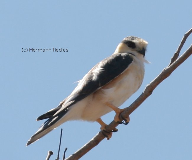 Pearl Kite (Gampsonyx swainsonii)