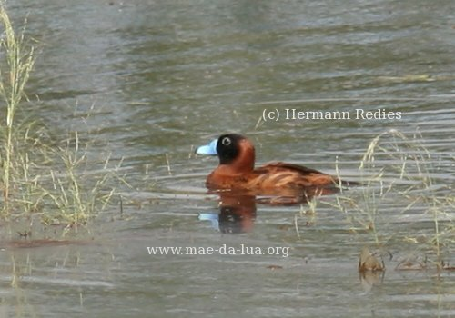 Masked Duck (Nomonyx dominicus)