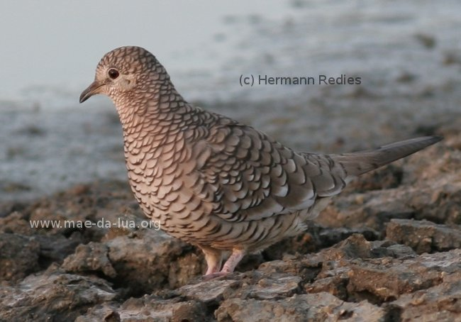 Scaled Dove (Columbina squammata)