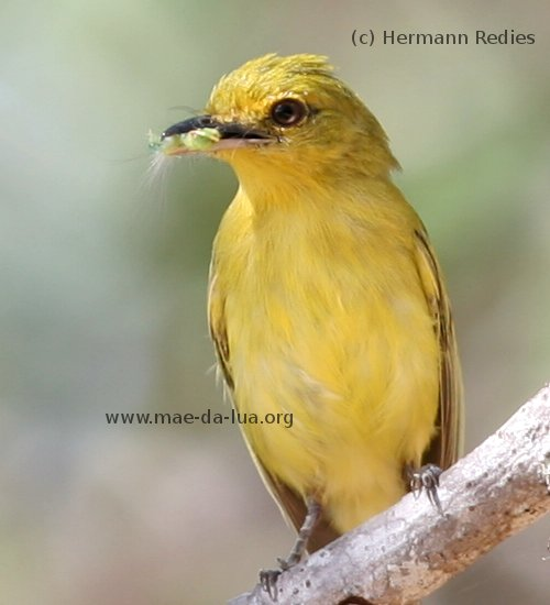 Yellow-breasted Flycatcher (Tolmomyias flaviventris)