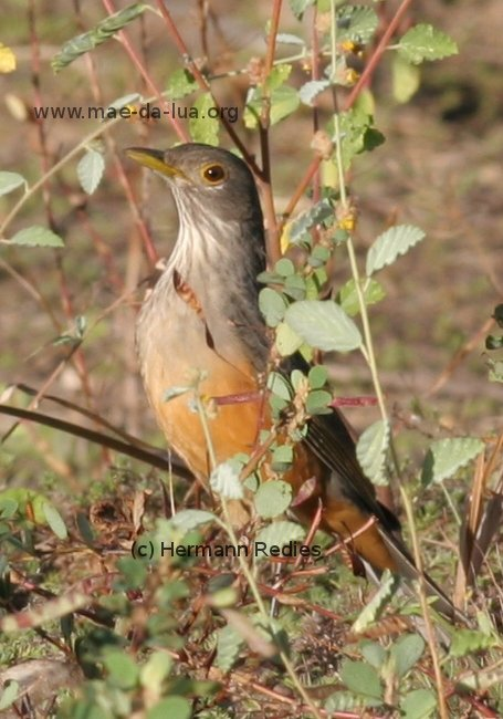 Rufous-bellied Trush (Turdus rufiventris)