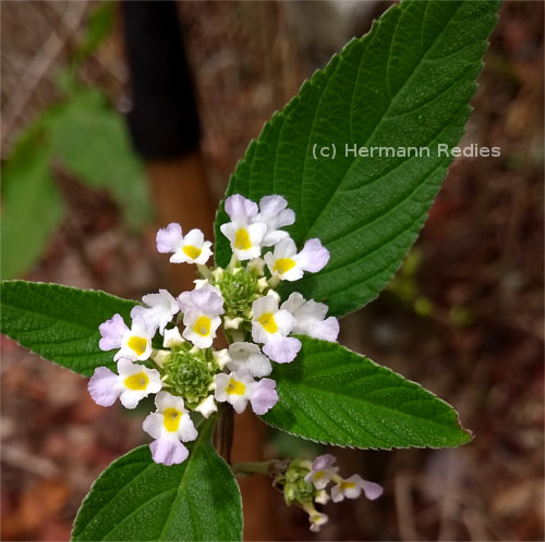 Lantana canescens (%%B_name)